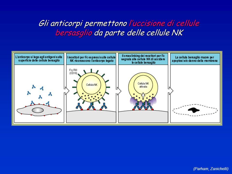 (Parham, Zanichelli) Gli anticorpi permettono luccisione di cellule bersasglio da parte delle cellule NK