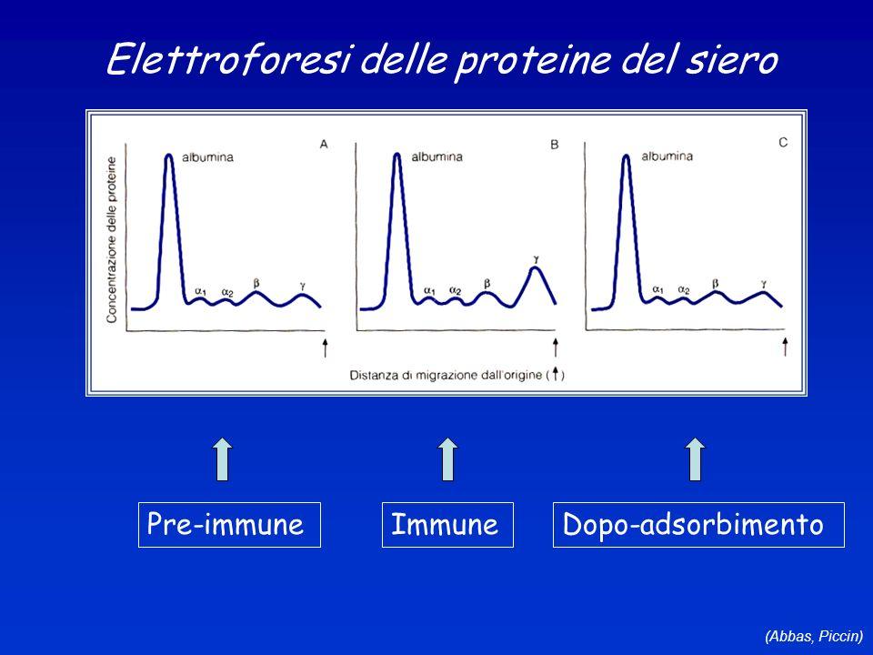 (Abbas, Piccin) Elettroforesi delle proteine del siero Pre-immuneImmuneDopo-adsorbimento