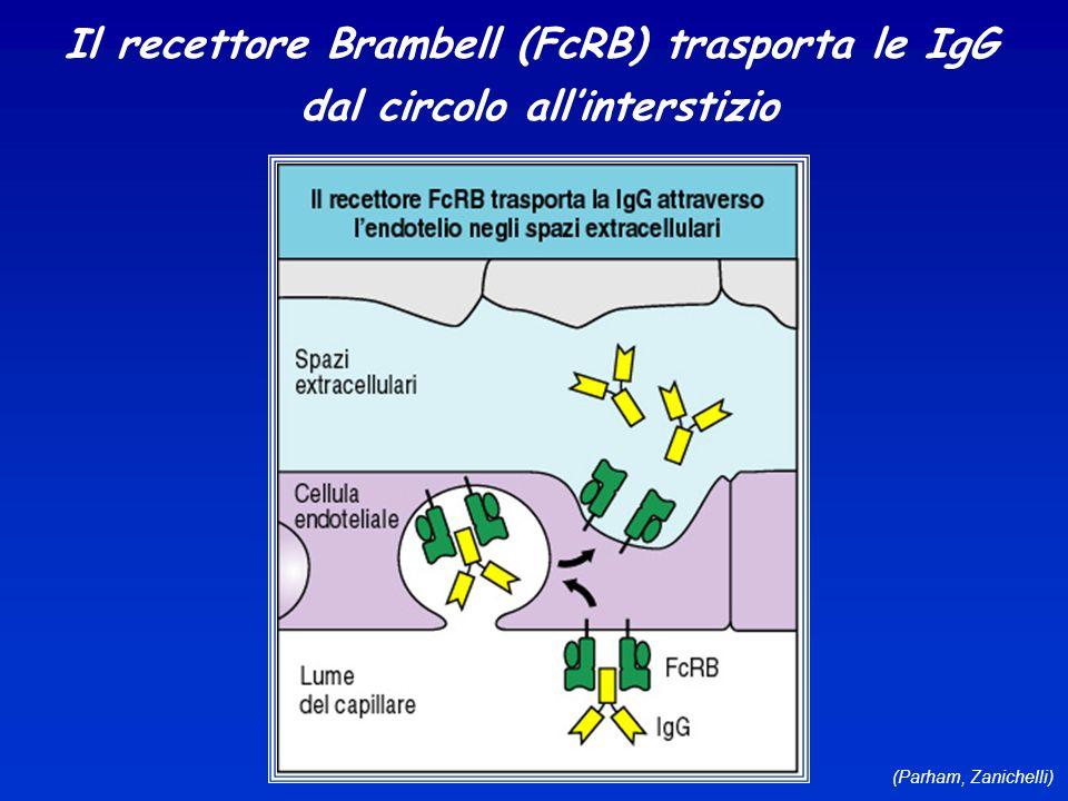 (Parham, Zanichelli) Il recettore Brambell (FcRB) trasporta le IgG dal circolo allinterstizio
