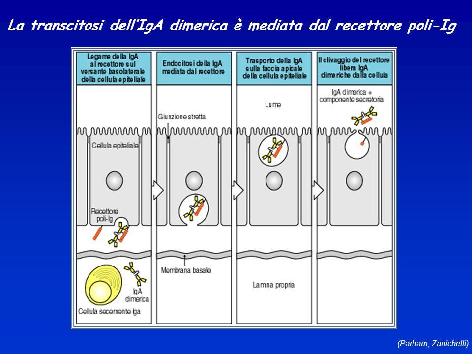 (Parham, Zanichelli) La transcitosi dellIgA dimerica è mediata dal recettore poli-Ig