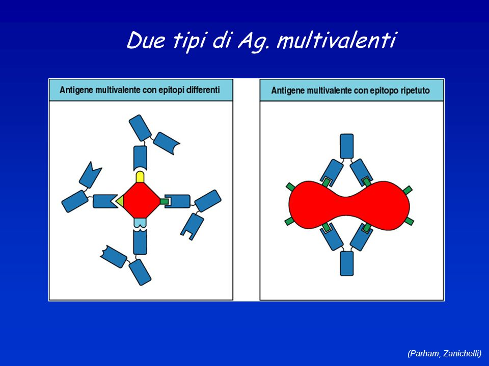 (Parham, Zanichelli) Due tipi di Ag. multivalenti