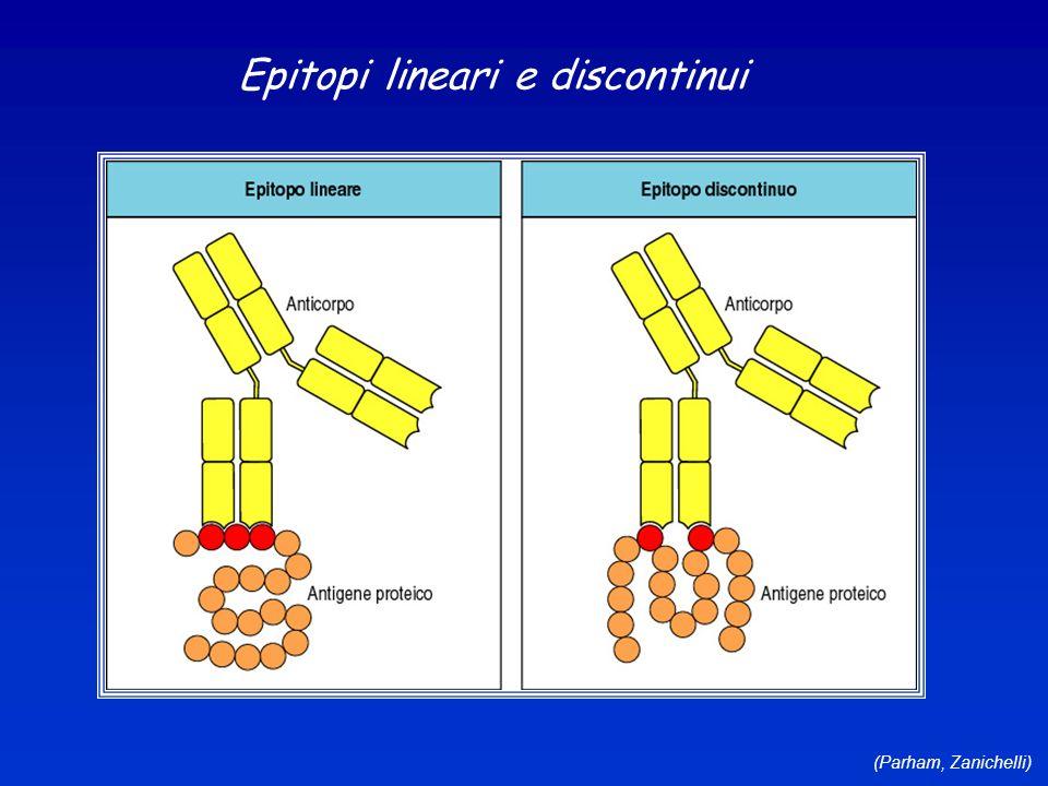 (Parham, Zanichelli) Epitopi lineari e discontinui
