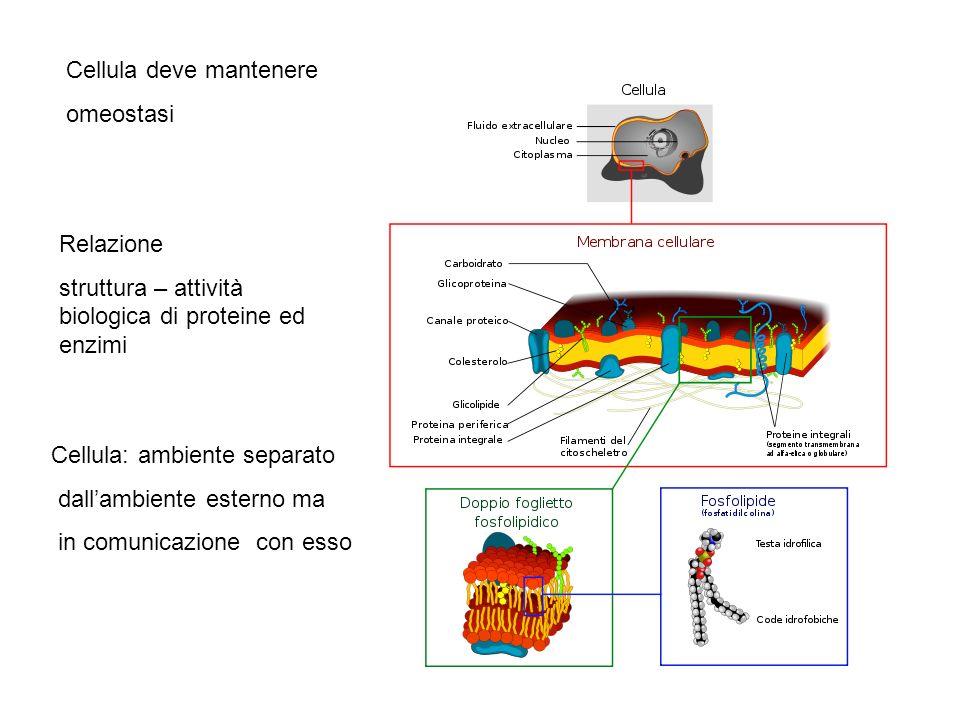 Cellula deve mantenere omeostasi Relazione struttura – attività biologica di proteine ed enzimi Cellula: ambiente separato dallambiente esterno ma in comunicazione con esso