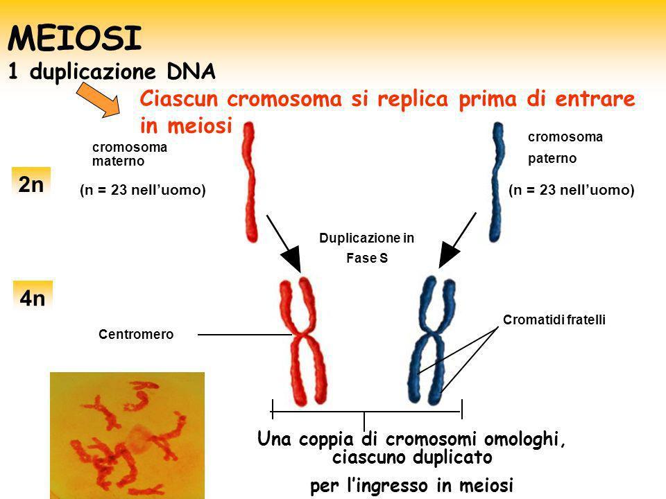 cromosoma materno Centromero Una coppia di cromosomi omologhi, ciascuno duplicato per lingresso in meiosi Duplicazione in Fase S Cromatidi fratelli (n