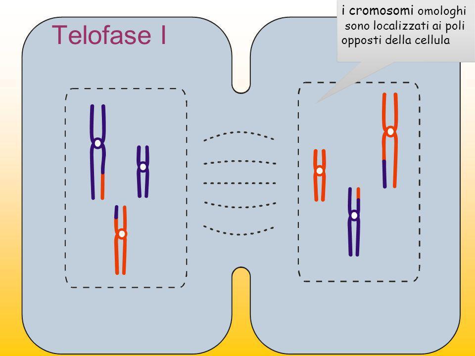 Telofase I i cromosomi omologhi sono localizzati ai poli opposti della cellula