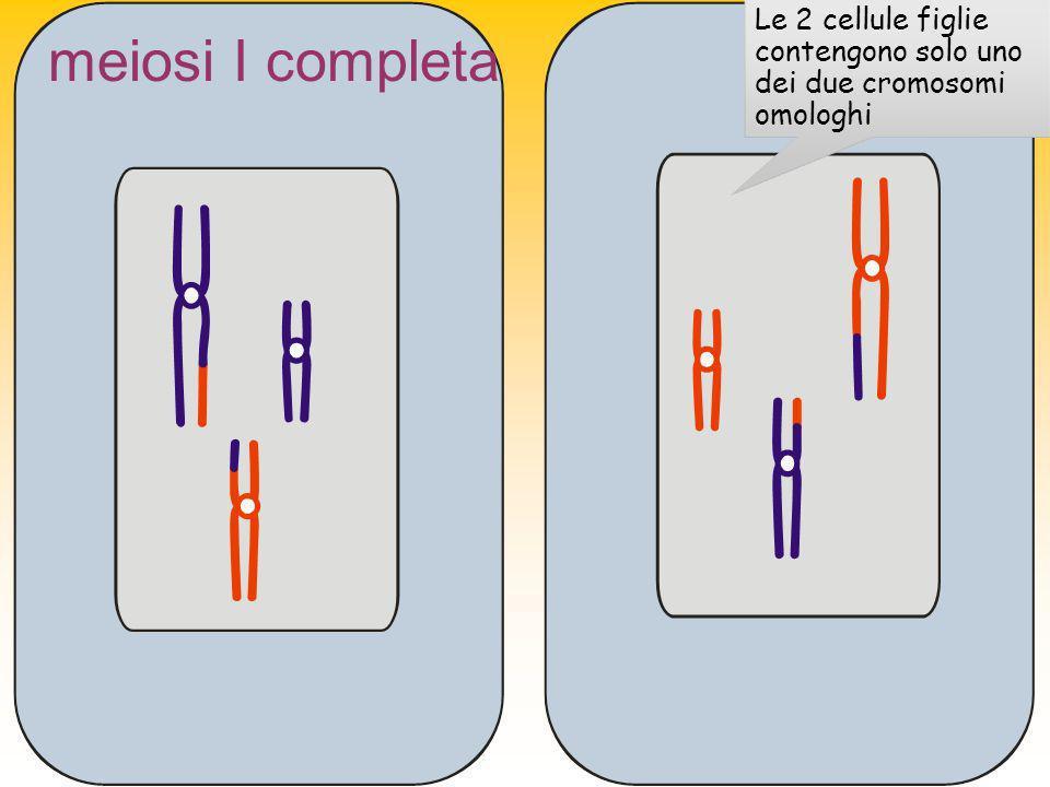 meiosi I completa Le 2 cellule figlie contengono solo uno dei due cromosomi omologhi
