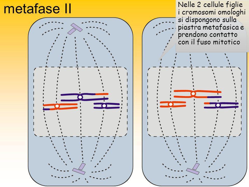 metafase II Nelle 2 cellule figlie i cromosomi omologhi si dispongono sulla piastra metafasica e prendono contatto con il fuso mitotico