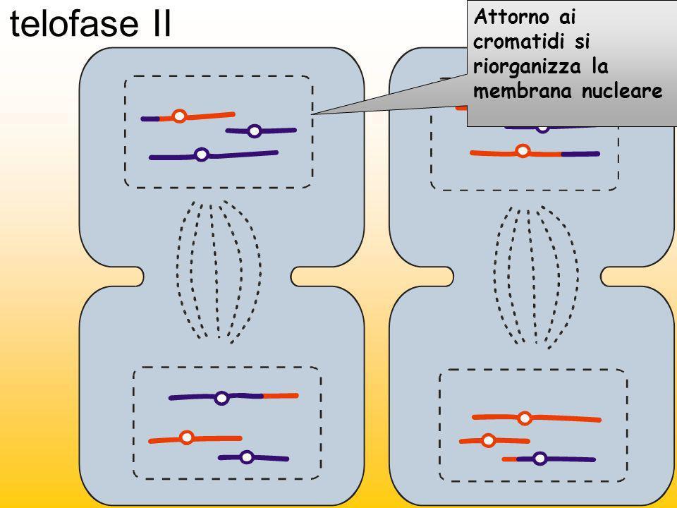 telofase II Attorno ai cromatidi si riorganizza la membrana nucleare