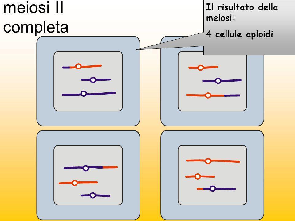 meiosi II completa Il risultato della meiosi: 4 cellule aploidi