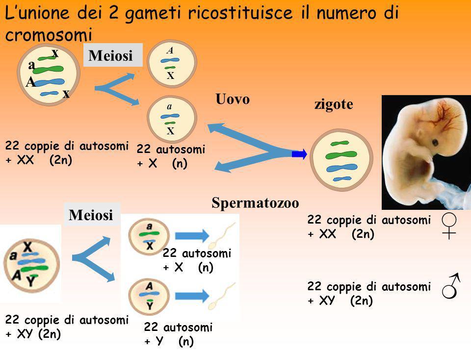 Lunione dei 2 gameti ricostituisce il numero di cromosomi 22 coppie di autosomi + XX (2n) Meiosi Uovo A X a X 22 autosomi + X (n) a A x x Meiosi 22 au