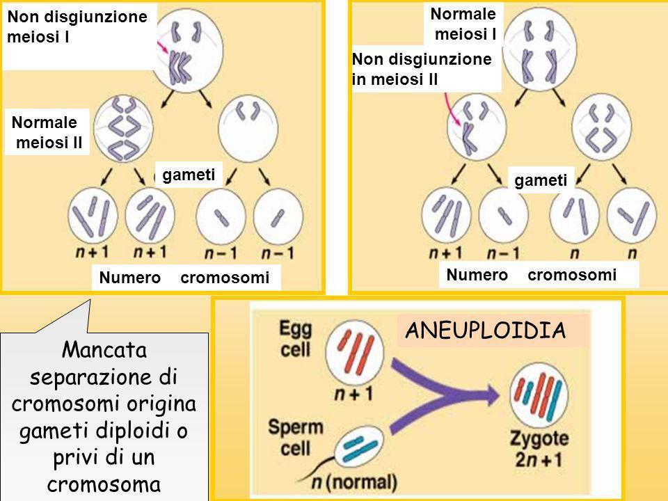 Non disgiunzione meiosi I Normale meiosi II gameti Numero cromosomi Non disgiunzione in meiosi II Normale meiosi I Numero cromosomi gameti ANEUPLOIDIA