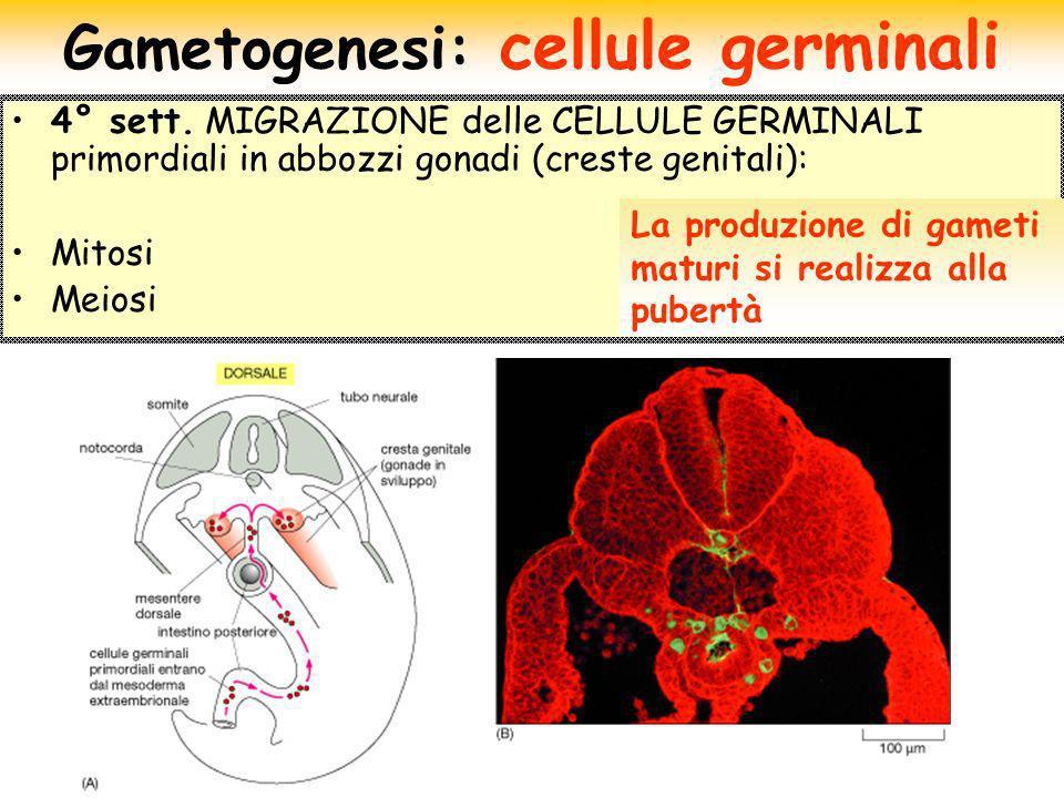 4° sett. MIGRAZIONE delle CELLULE GERMINALI primordiali in abbozzi gonadi (creste genitali): Mitosi Meiosi Gametogenesi: cellule germinali La produzio