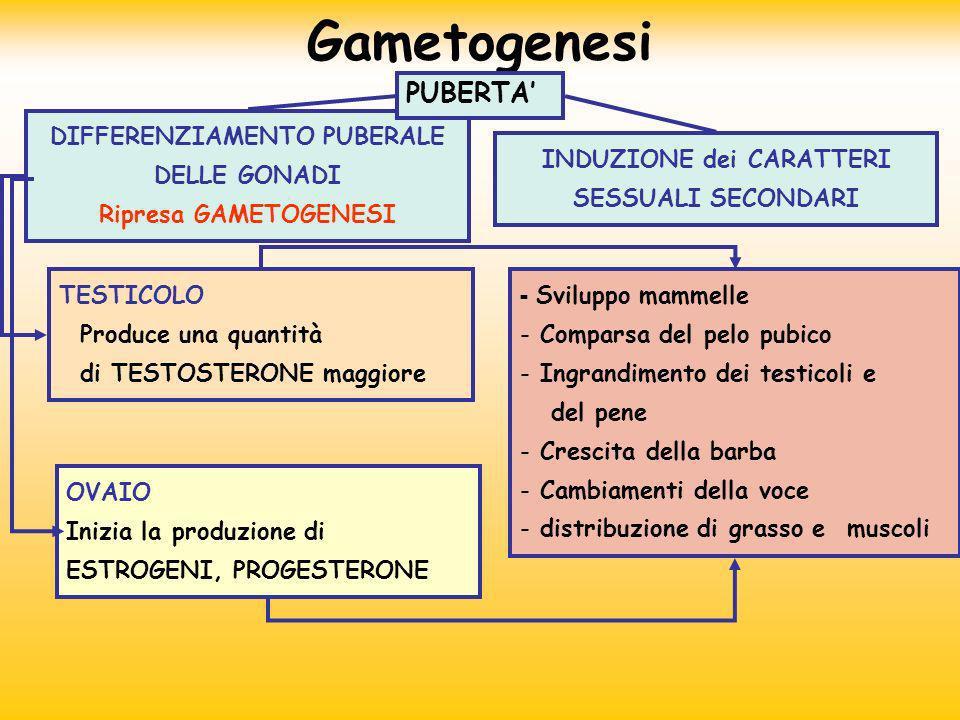 DIFFERENZIAMENTO PUBERALE DELLE GONADI Ripresa GAMETOGENESI INDUZIONE dei CARATTERI SESSUALI SECONDARI TESTICOLO Produce una quantità di TESTOSTERONE