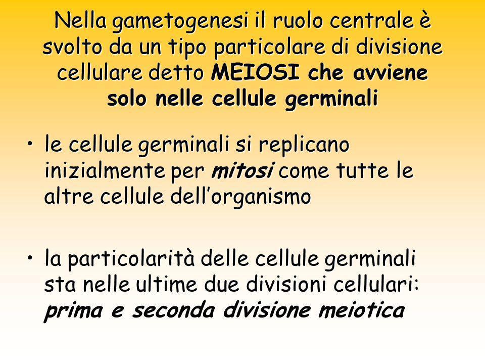 Nella gametogenesi il ruolo centrale è svolto da un tipo particolare di divisione cellulare detto MEIOSI che avviene solo nelle cellule germinali le c