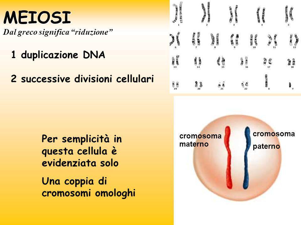 MEIOSI Per semplicità in questa cellula è evidenziata solo Una coppia di cromosomi omologhi cromosoma materno cromosoma paterno 1 duplicazione DNA 2 s