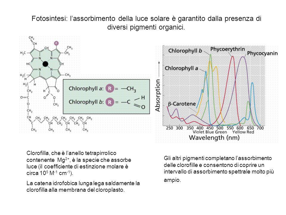 Fotosintesi: lassorbimento della luce solare è garantito dalla presenza di diversi pigmenti organici. Clorofilla, che è lanello tetrapirrolico contene