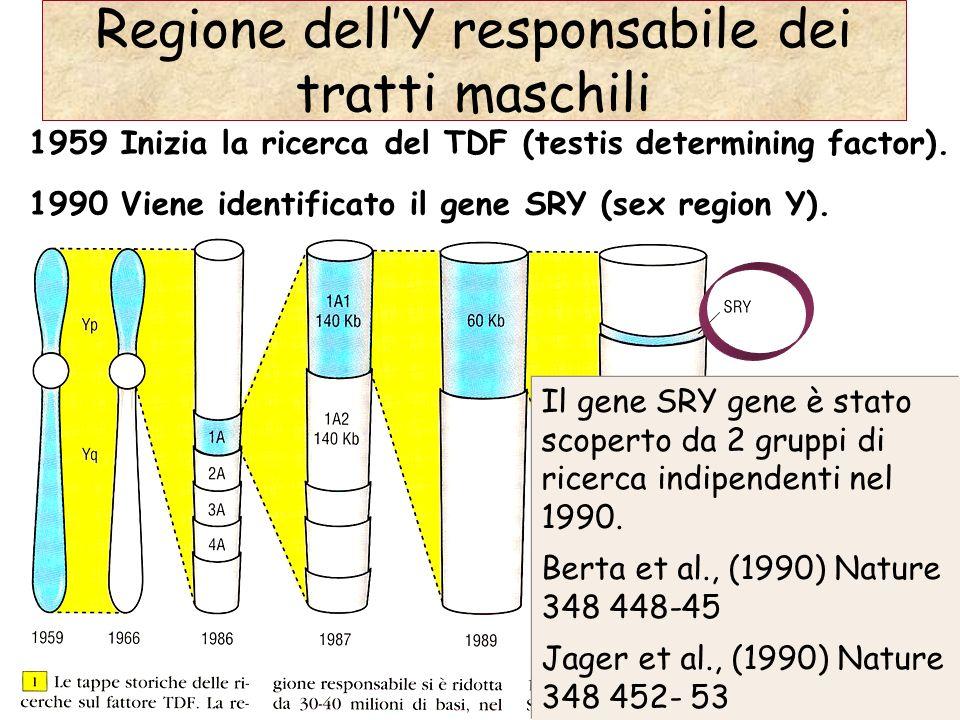 Regione dellY responsabile dei tratti maschili 1959 Inizia la ricerca del TDF (testis determining factor). 1990 Viene identificato il gene SRY (sex re