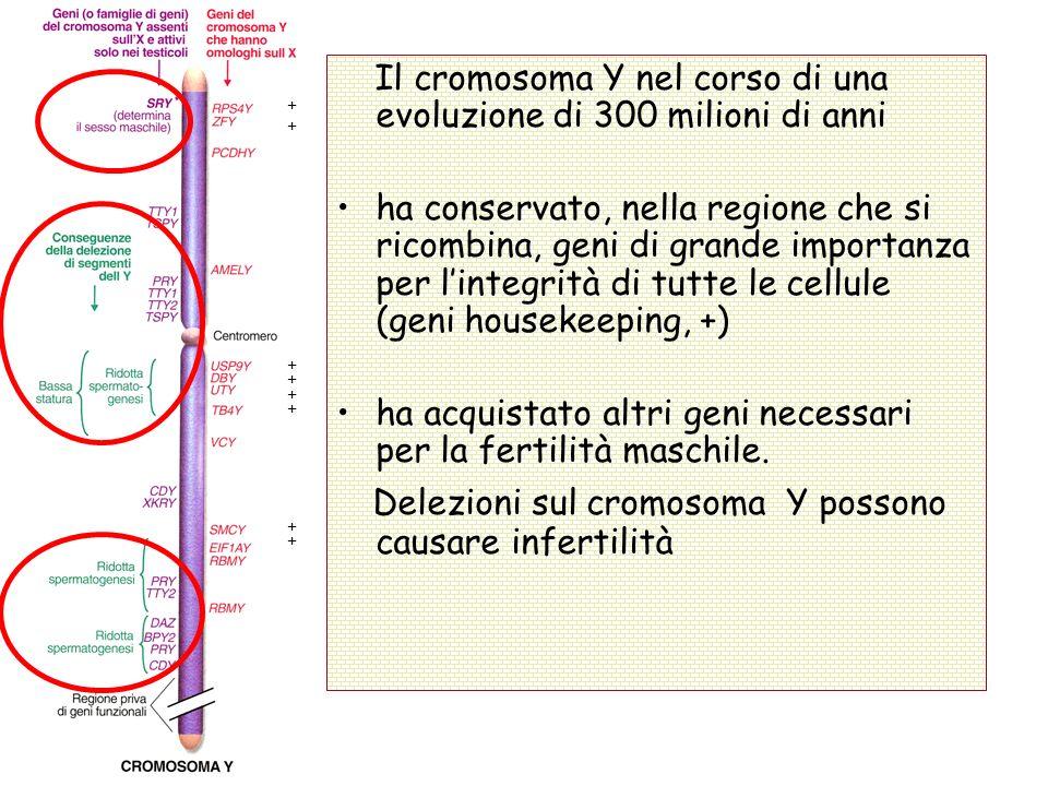 Il cromosoma Y nel corso di una evoluzione di 300 milioni di anni ha conservato, nella regione che si ricombina, geni di grande importanza per lintegr