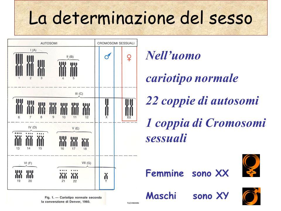Nelluomo cariotipo normale 22 coppie di autosomi 1 coppia di Cromosomi sessuali Femmine sono XX Maschi sono XY La determinazione del sesso