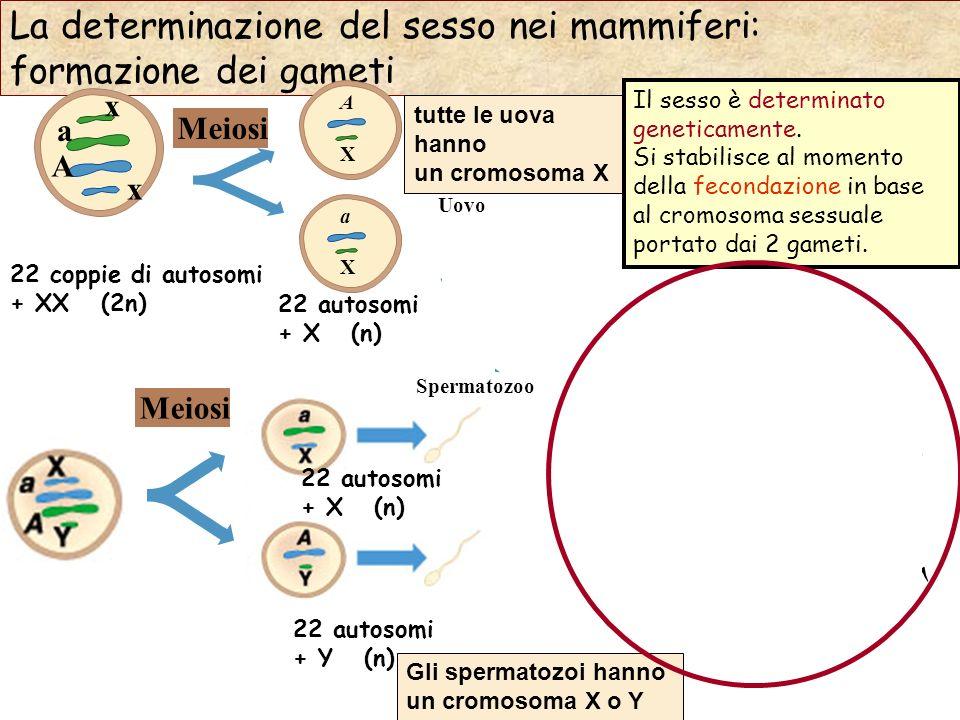 La determinazione del sesso nei mammiferi: formazione dei gameti 22 coppie di autosomi + XX (2n) Meiosi Uovo A X a X 22 autosomi + X (n) a A x x Meios