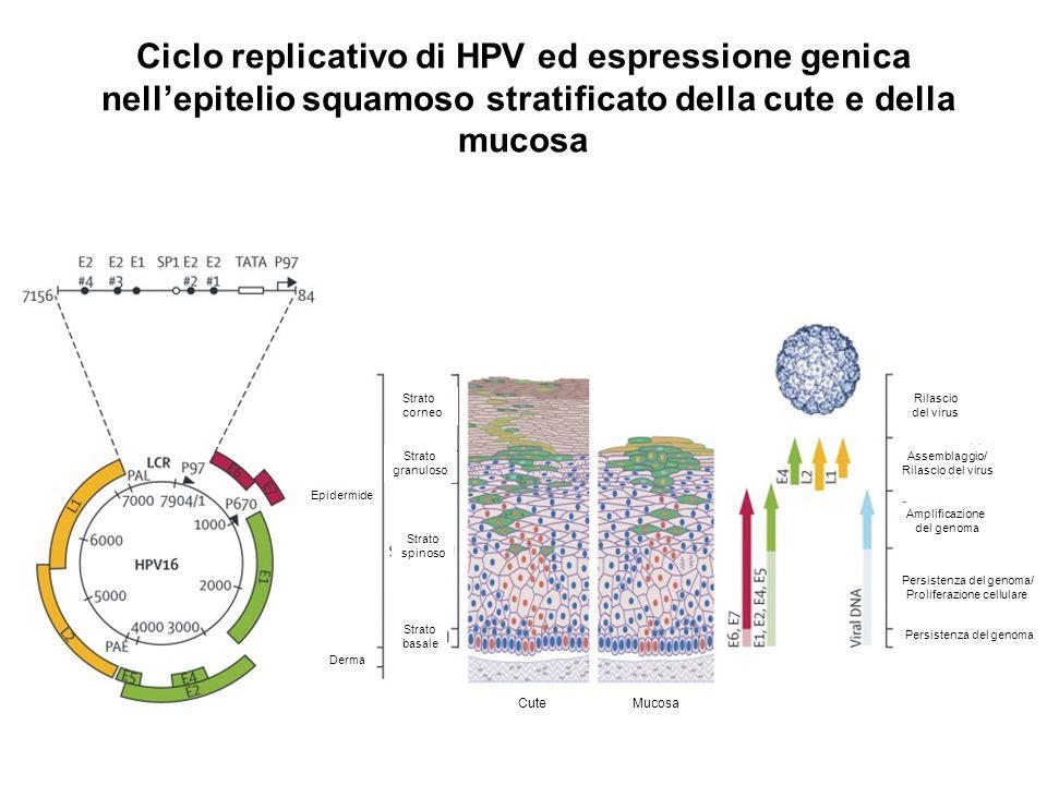 Ciclo replicativo di HPV ed espressione genica nellepitelio squamoso stratificato della cute e della mucosa Epidermide Derma Strato corneo Strato gran