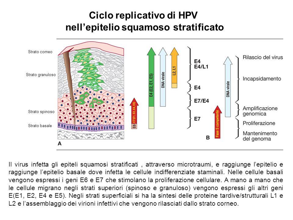 Ciclo replicativo di HPV nellepitelio squamoso stratificato Strato basale Strato spinoso Strato granuloso Strato corneo Il virus infetta gli epiteli s