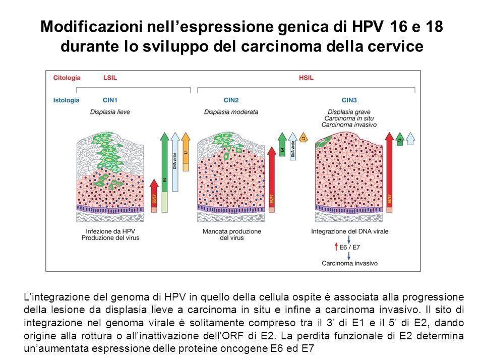 Modificazioni nellespressione genica di HPV 16 e 18 durante lo sviluppo del carcinoma della cervice Lintegrazione del genoma di HPV in quello della ce