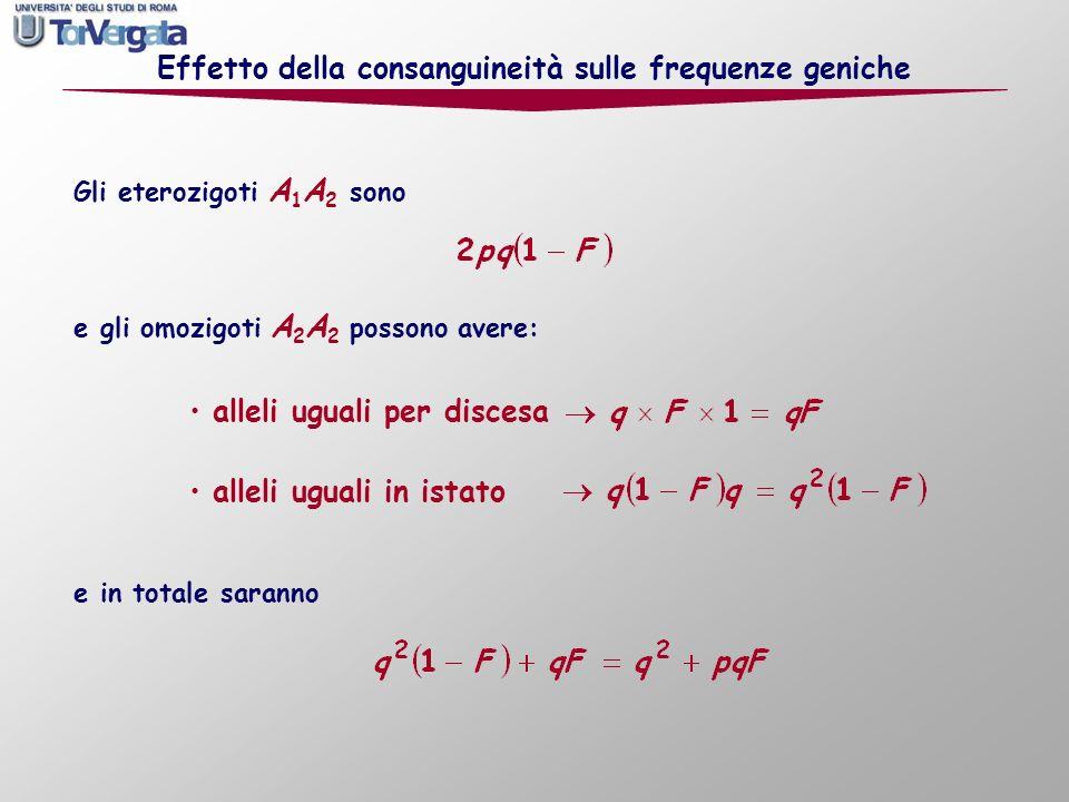 Gli eterozigoti A 1 A 2 sono Effetto della consanguineità sulle frequenze geniche alleli uguali per discesa alleli uguali in istato e gli omozigoti A