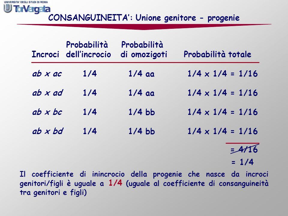 CONSANGUINEITA: Unione genitore - progenie Il coefficiente di inincrocio della progenie che nasce da incroci genitori/figli è uguale a 1/4 (uguale al