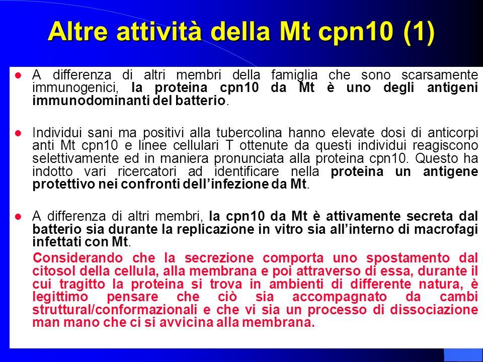 Altre attività della Mt cpn10 (1) A differenza di altri membri della famiglia che sono scarsamente immunogenici, la proteina cpn10 da Mt è uno degli a