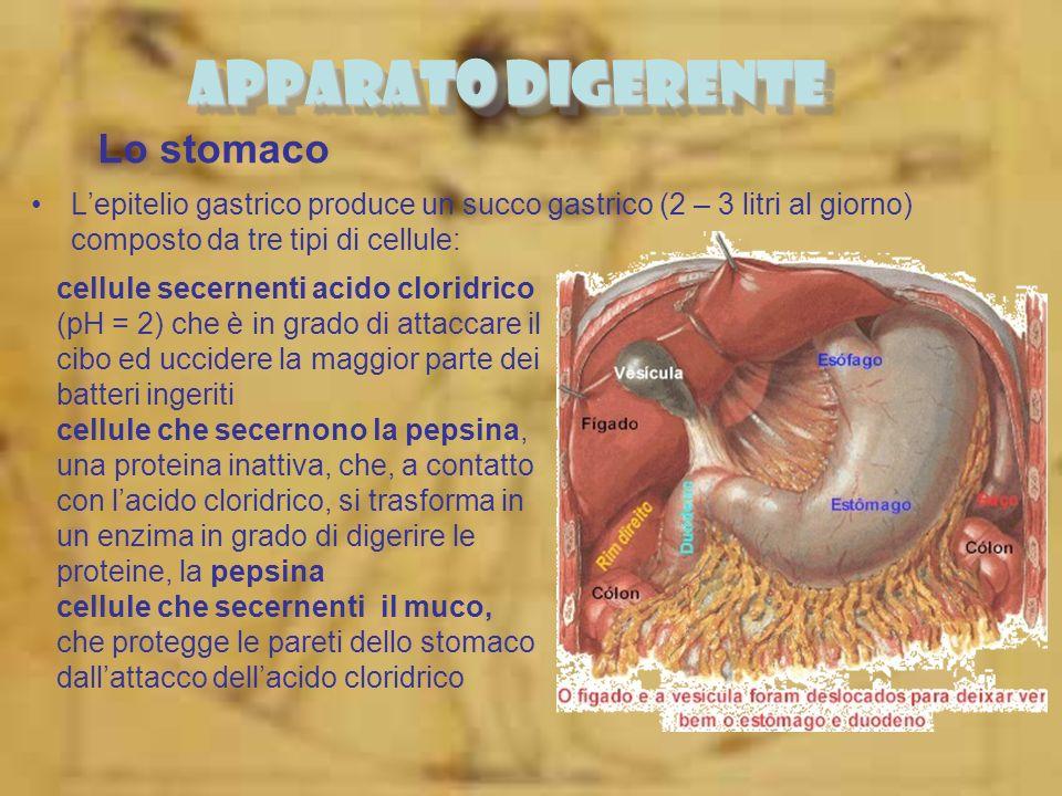 Lo stomaco Lepitelio gastrico produce un succo gastrico (2 – 3 litri al giorno) composto da tre tipi di cellule: APPARATO DIGERENTE cellule secernenti