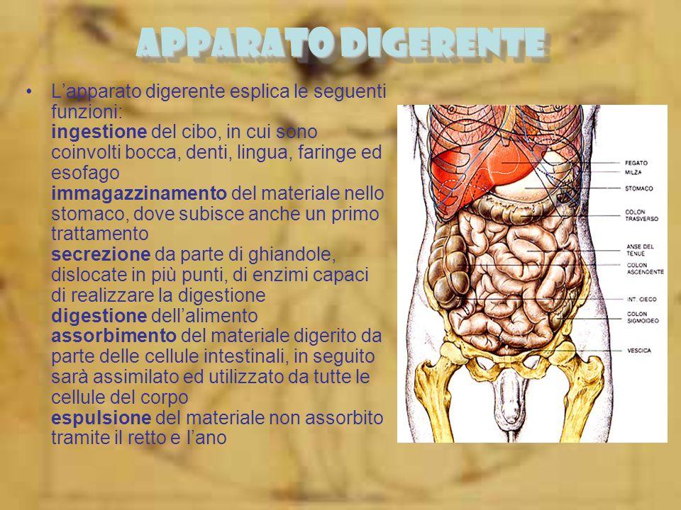 APPARATO DIGERENTE Lapparato digerente esplica le seguenti funzioni: ingestione del cibo, in cui sono coinvolti bocca, denti, lingua, faringe ed esofa