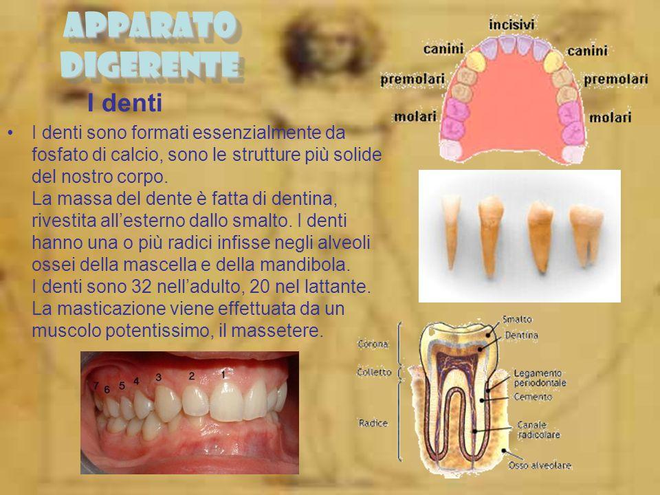 I denti I denti sono formati essenzialmente da fosfato di calcio, sono le strutture più solide del nostro corpo. La massa del dente è fatta di dentina