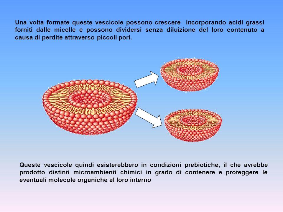 Una volta formate queste vescicole possono crescere incorporando acidi grassi forniti dalle micelle e possono dividersi senza diluizione del loro cont
