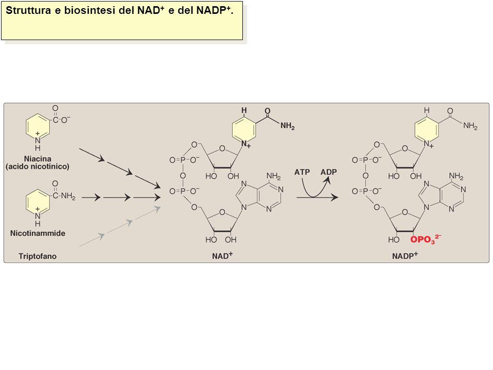 Struttura e biosintesi del NAD + e del NADP +.Champe et al., Le basi della biochimica, Ed.