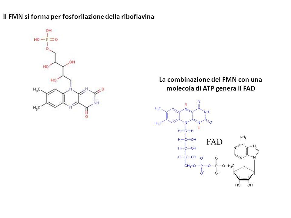 Il FMN si forma per fosforilazione della riboflavina La combinazione del FMN con una molecola di ATP genera il FAD