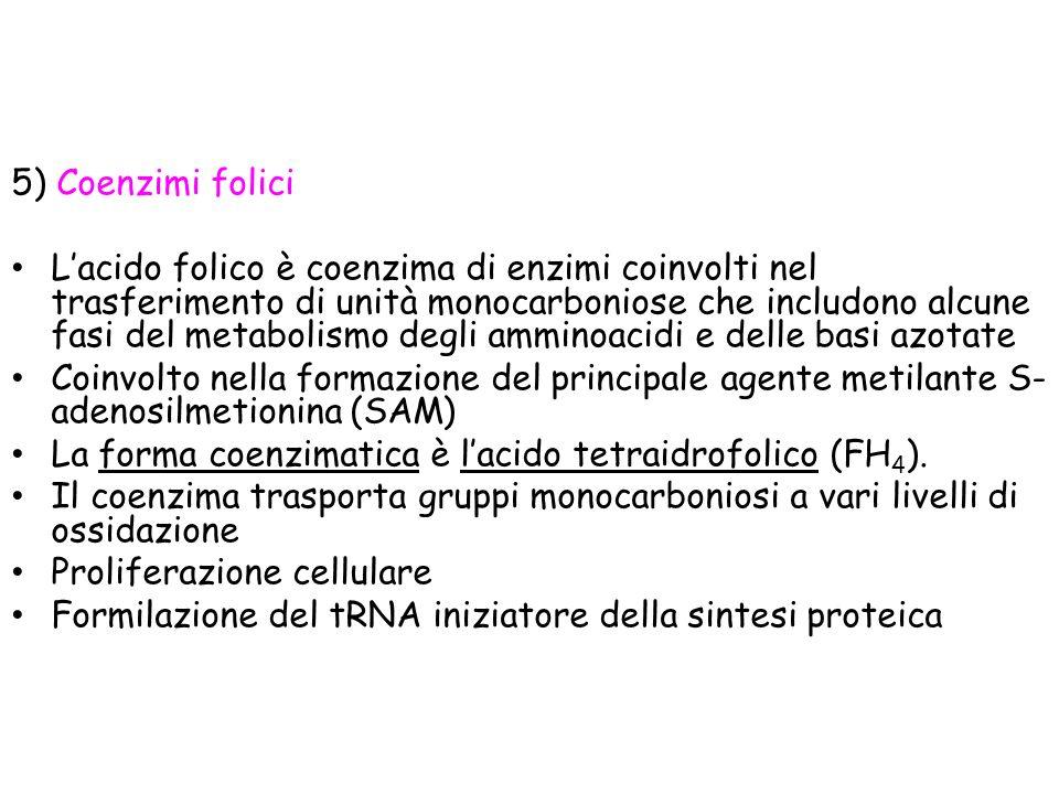 5) Coenzimi folici Lacido folico è coenzima di enzimi coinvolti nel trasferimento di unità monocarboniose che includono alcune fasi del metabolismo degli amminoacidi e delle basi azotate Coinvolto nella formazione del principale agente metilante S- adenosilmetionina (SAM) La forma coenzimatica è lacido tetraidrofolico (FH 4 ).