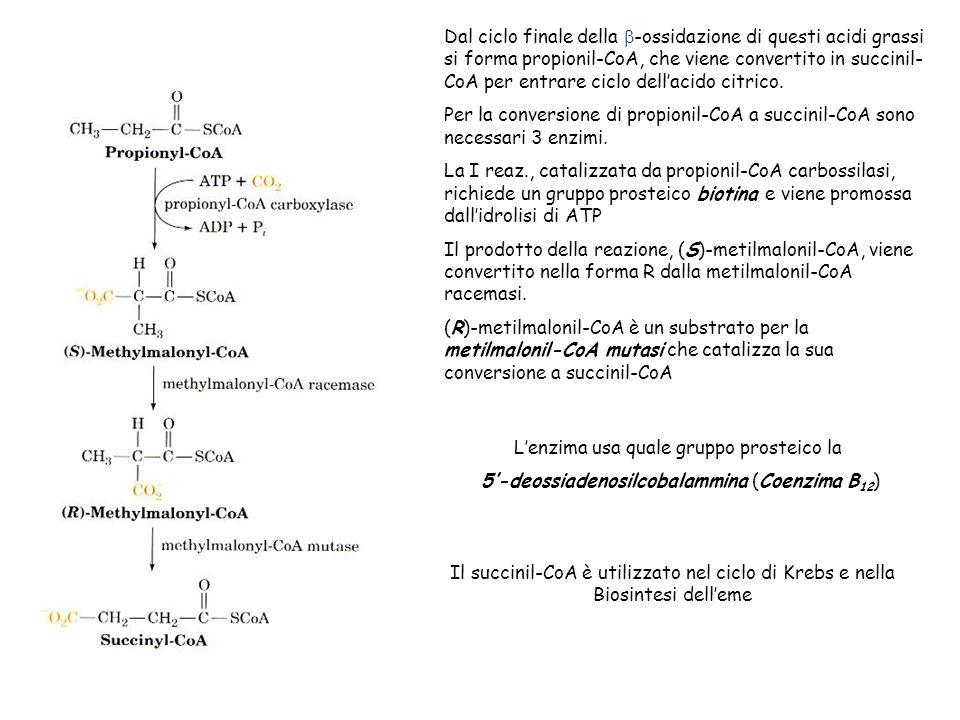 Dal ciclo finale della -ossidazione di questi acidi grassi si forma propionil-CoA, che viene convertito in succinil- CoA per entrare ciclo dellacido citrico.