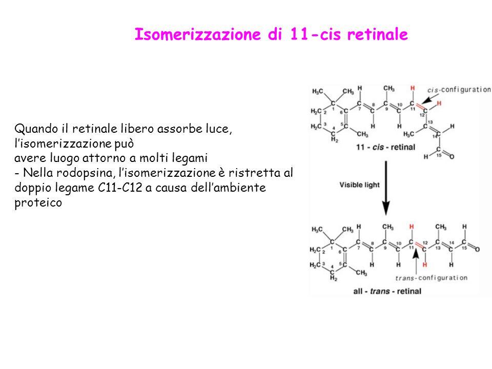 Isomerizzazione di 11-cis retinale Quando il retinale libero assorbe luce, lisomerizzazione può avere luogo attorno a molti legami - Nella rodopsina, lisomerizzazione è ristretta al doppio legame C11-C12 a causa dellambiente proteico