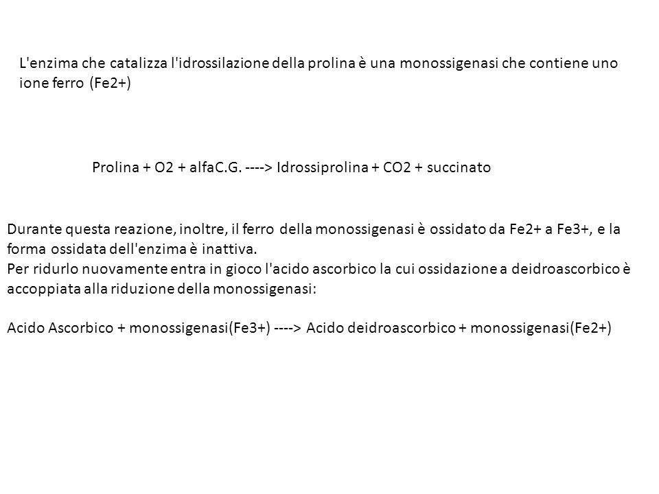 L enzima che catalizza l idrossilazione della prolina è una monossigenasi che contiene uno ione ferro (Fe2+) Prolina + O2 + alfaC.G.