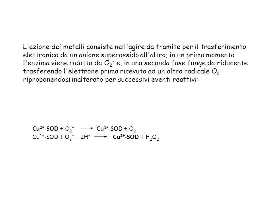 L azione dei metalli consiste nell agire da tramite per il trasferimento elettronico da un anione superossido all altro; in un primo momento l enzima viene ridotto da O 2 – e, in una seconda fase funge da riducente trasferendo l elettrone prima ricevuto ad un altro radicale O 2 – riproponendosi inalterato per successivi eventi reattivi: Cu 2+ -SOD + O 2 – Cu 1+ -SOD + O 2 Cu 1+ -SOD + O 2 – + 2H + Cu 2+ -SOD + H 2 O 2