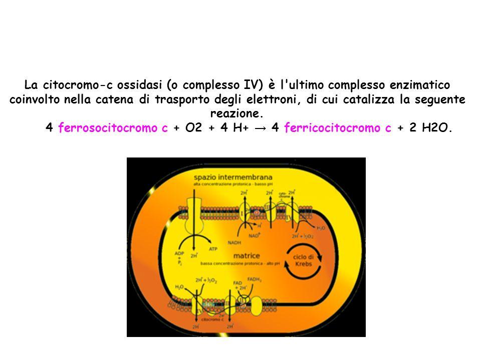 La citocromo-c ossidasi (o complesso IV) è l ultimo complesso enzimatico coinvolto nella catena di trasporto degli elettroni, di cui catalizza la seguente reazione.