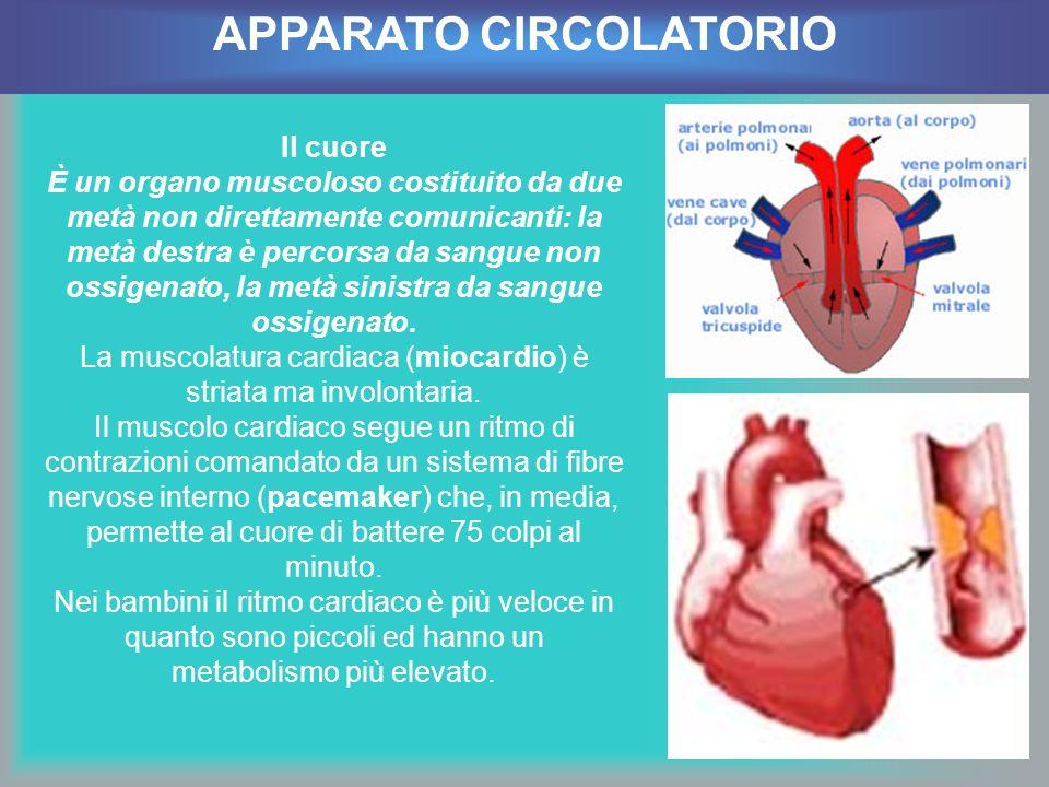 Il cuore È un organo muscoloso costituito da due metà non direttamente comunicanti: la metà destra è percorsa da sangue non ossigenato, la metà sinist