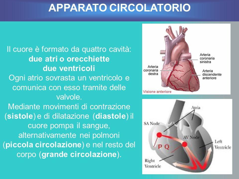 Il cuore è formato da quattro cavità: due atri o orecchiette due ventricoli Ogni atrio sovrasta un ventricolo e comunica con esso tramite delle valvol