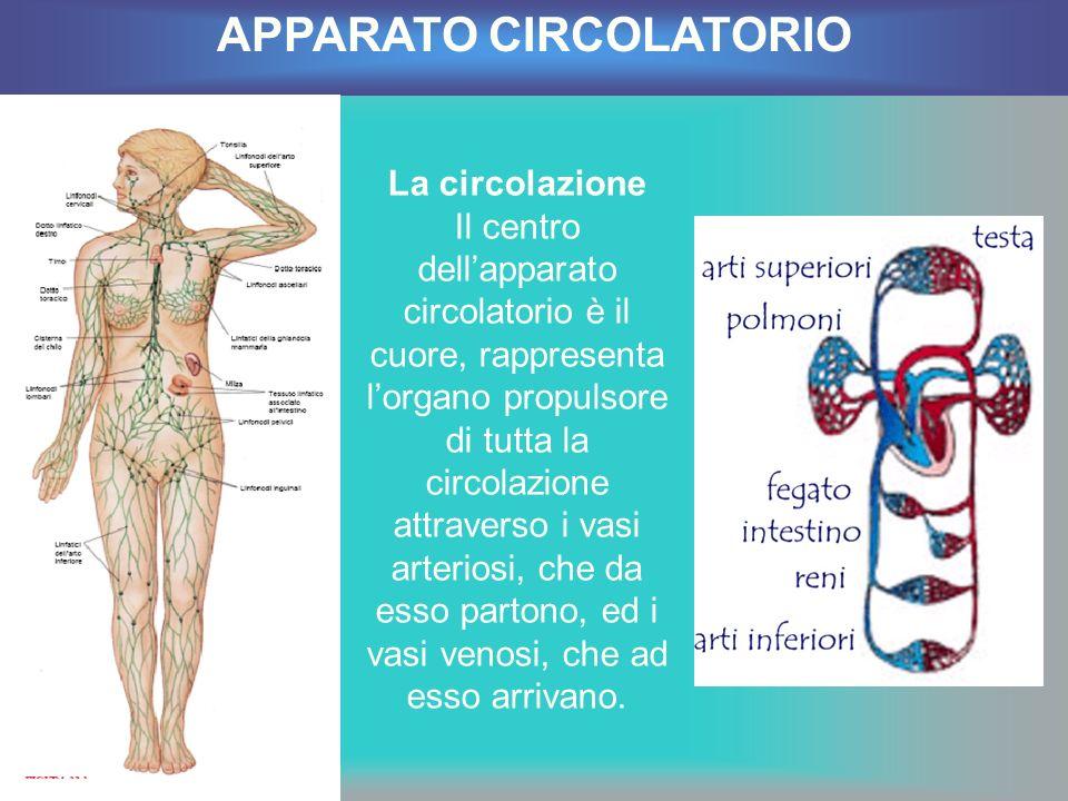 La circolazione Il centro dellapparato circolatorio è il cuore, rappresenta lorgano propulsore di tutta la circolazione attraverso i vasi arteriosi, c