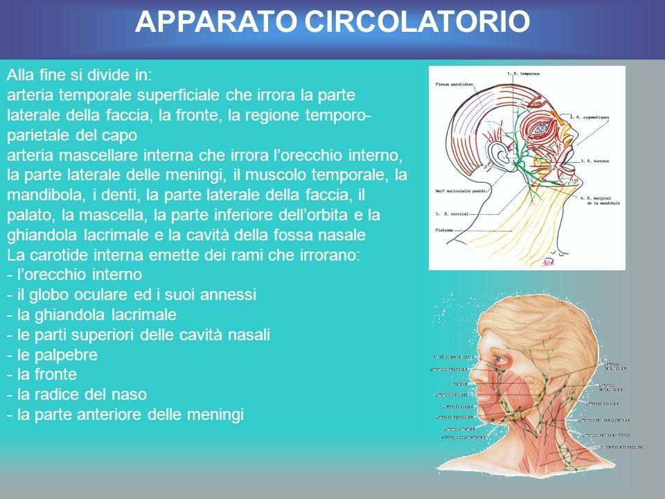 Alla fine si divide in: arteria temporale superficiale che irrora la parte laterale della faccia, la fronte, la regione temporo- parietale del capo ar