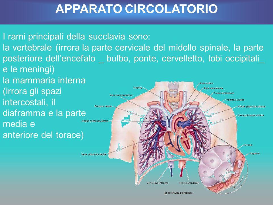 I rami principali della succlavia sono: la vertebrale (irrora la parte cervicale del midollo spinale, la parte posteriore dellencefalo _ bulbo, ponte,