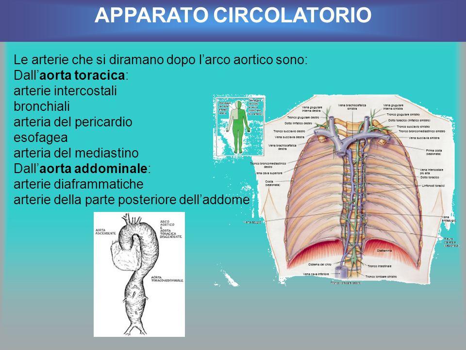 Le arterie che si diramano dopo larco aortico sono: Dallaorta toracica: arterie intercostali bronchiali arteria del pericardio esofagea arteria del me