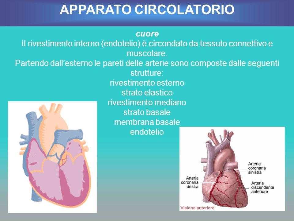 cuore Il rivestimento interno (endotelio) è circondato da tessuto connettivo e muscolare. Partendo dallesterno le pareti delle arterie sono composte d