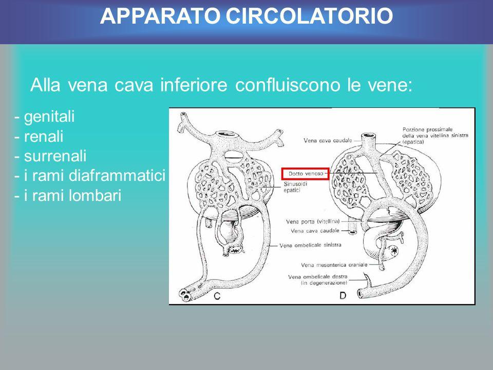 Alla vena cava inferiore confluiscono le vene: APPARATO CIRCOLATORIO - genitali - renali - surrenali - i rami diaframmatici - i rami lombari